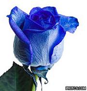 Голубые розы стали реальностью