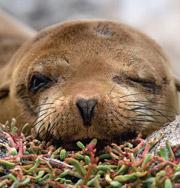 В Чили умирают брошенные морские львы