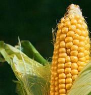 Кукуруза – наркотик президента