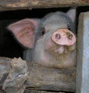 Президент: свинина заменяет виагру
