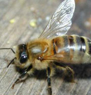 Москвичам покажут пчел