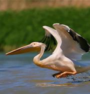 Тайна мертвых пеликанов