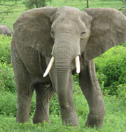 Киеву не понравился слон из Тайланда