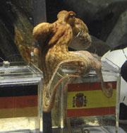 Знаменитый осминог нуждается в охране. Фото