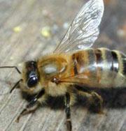 Мужчину убили пчелы