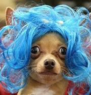 Новая мода: парики для собак. Фото