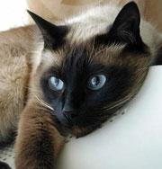 Самые популярные породы кошек. Фото