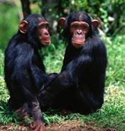 Ученые повадились щекотать шимпанзе