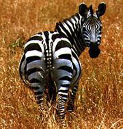Ученые разобрались зачем зебрам полоски