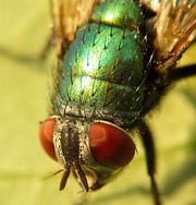 Обычные мухи гораздо опасней, чем считалось ранее