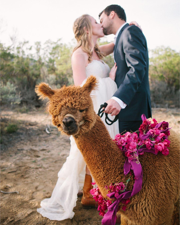 Альпаку стало модно приглашать на свадьбы