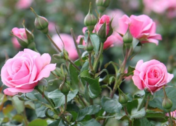 Саженцы роз Патио – крошки, украшающие нашу жизнь